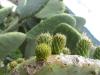 kaktus in mallorca