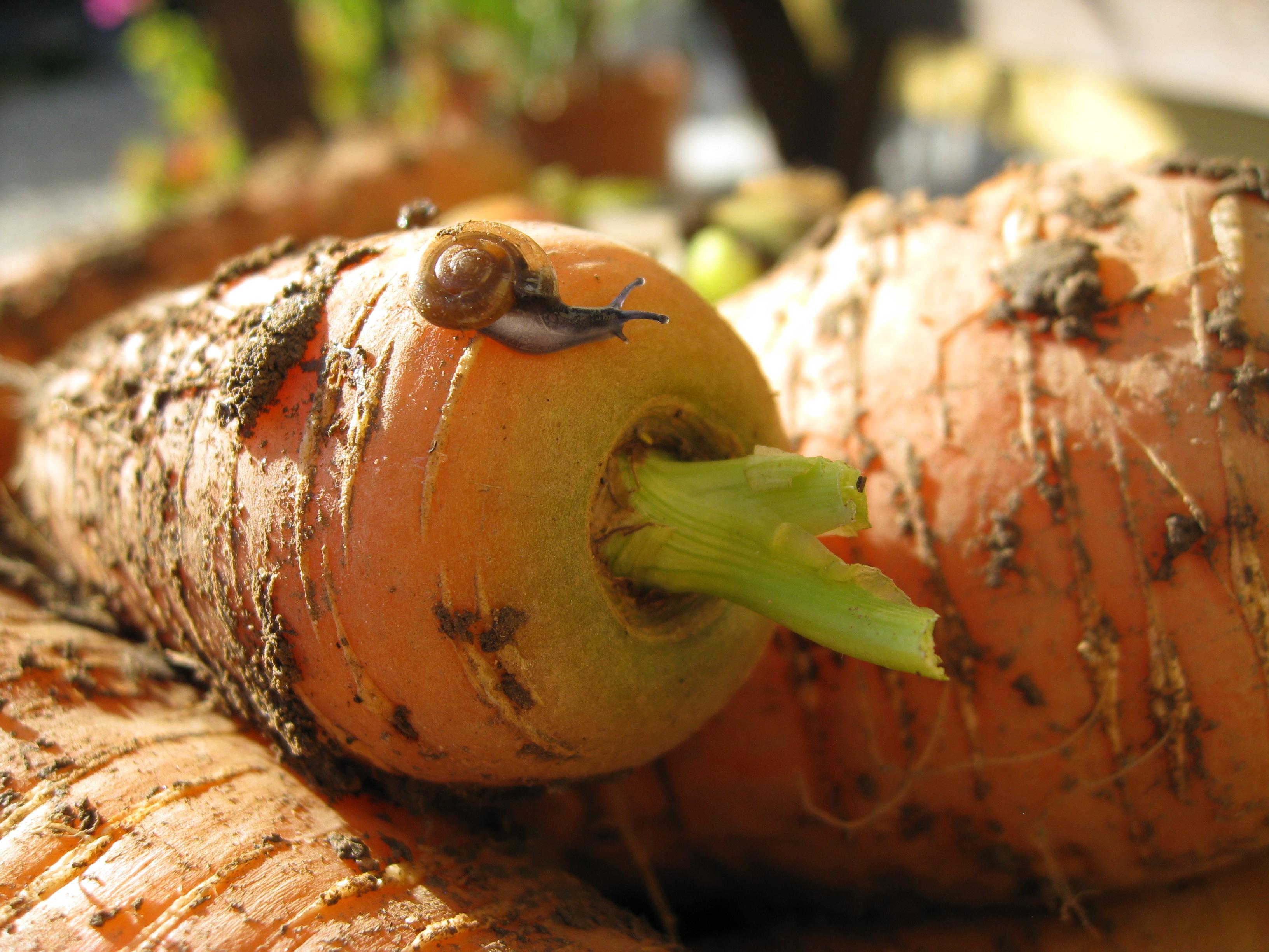 Schnecke auf Karotte