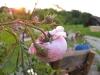 bauernrose im sonnenuntergang